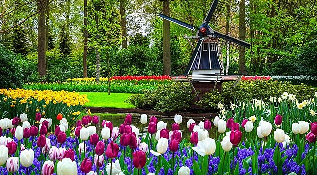 Dünyanın en büyük çiçek bahçesi Keukenhof'ta yüzde 30 daha fazla çicek açacak