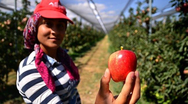 Hollanda'dan getirdiği fidanlarla elma bahçesi kuran çiftçi ürettiği elmaları 20 ülkeye satıyor