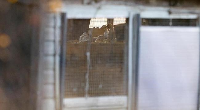 Hollanda'da 'kuş gribi' tespit edilmesi üzerine 130.000 tavuk telef edildi