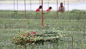 Avrupa'nin çiçek merkezi Hollanda'ya Denizli'den ihracat