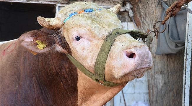 Kahramanmaraş'ta 'Sarı' adı verilen bir tonluk boğa 30 bin liraya bir gurbetçi aileye satıldı