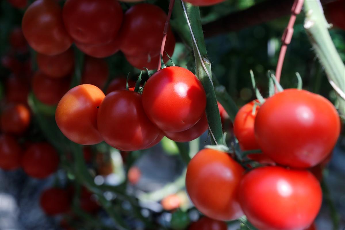 Sera domatesinde dünyanın en büyüğü olmayı hedefliyor