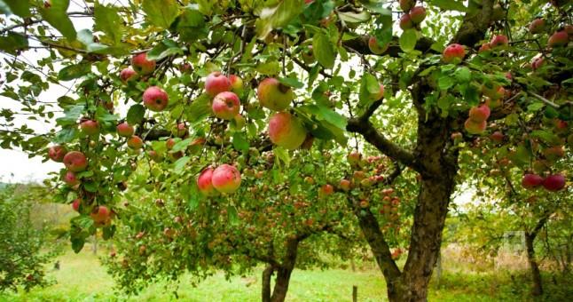 Hollanda'da Elmaları soğuk aldı
