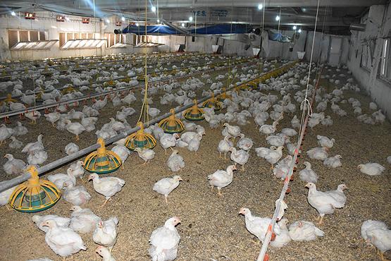 Hollanda'da tavuk çiftliğinde yangın çıktı! -  100 bin tavuk telef oldu