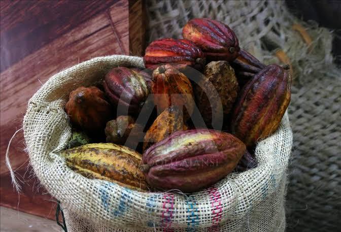 Hollanda, kakao çekirdeğinin en büyük ithalatçısı