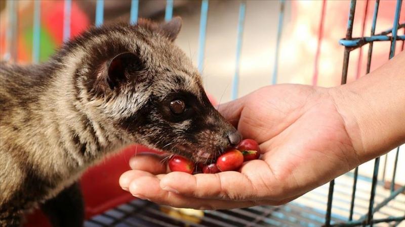 Kedi dışkısından üretilen kahvenin kilosu bin dolara satılıyor