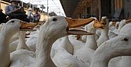 Hollanda'da bir ördek üretim çiftliğinde kuş gribi vakası görüldü