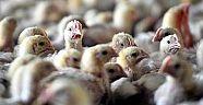 Hollandada Kuş Gribi Virüsü H5 Geri Döndü