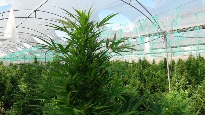Turkije: samenwerking met Nederland kan onze productie van cannabis versnellen
