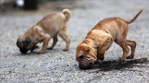 Üç köpek Rotterdam'da kadına saldırdı, polis hayvanları öldürdü